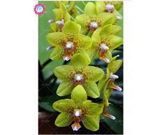 100 piezas de 20 colores rara orquídea Cymbidium, Cymbidiums semillas africanas, semillas de flor de Phalaenopsis bonsai, plantas en maceta para el jardín de 13