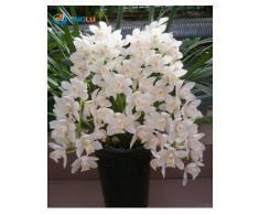 Las semillas de orquídeas en maceta Flores, Semillas Cymbidium, orquídea de la cigarra, Cymbidium, cuando florece, 50pcs / bag