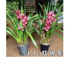 50pcs / lot rara orquídea Cymbidium, semillas Cymbidiums africanas, semillas de flores, bonsai planta para el jardín de 15