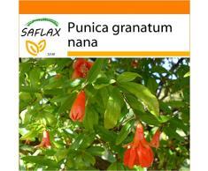 SAFLAX - Garden in the Bag - Granado enano - 50 semillas - Punica granatum nana