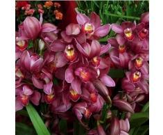 50pcs / lot rara orquídea Cymbidium, semillas Cymbidiums africanas, semillas de flores, bonsai planta para el jardín de 4