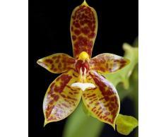 Phalaenopsis cornucervi - orquídea - 100 semillas
