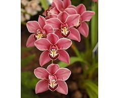 ¡¡¡Gran venta!!! 100 piezas de 22 colores rara orquídea Cymbidium, Cymbidiums semillas africanas, semillas de flores bonsai, plantas de jardín de su casa, 9