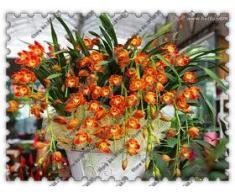 orquídea 100pcs Cymbidium, Cymbidium semillas, semillas de flores bonsai, 22 colores para elegir, planta de jardín de casa