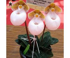 Plazo 100 semillas / paquete Orquídea Bonsai Pot Flores Semillas de plantas del jardín cubierta de la semilla del Phalaenopsis Natural Crecimiento Borgoña