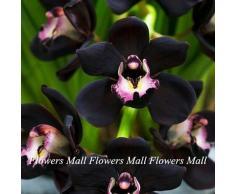 Semillas negro de la flor del Cymbidium 150pcs plantas de floración únicas de la orquídea en Casa y Jardín Bonsai Planta de tiesto Hermosa